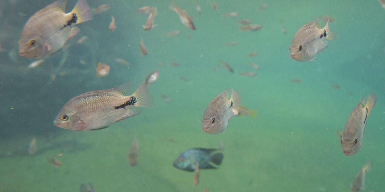 Kopf am mit fisch beule Goldfisch hat